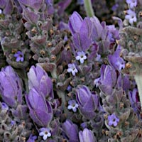 Bulgarian Lavender Age Prevention Complexion Serum