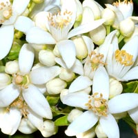 Neroli Facial Beauty Serum