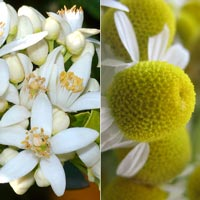 neroli chamomile wholesale bath and body oil
