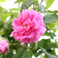 Damask Rose Facial Beauty Serum