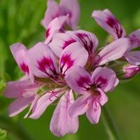 Egyptian Rose Geranium Complexion Firming Serum