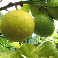 wholesale bergamot essential oil