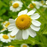 blue chamomile essential oil from www.essexcounty.ca