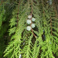 Weeping Cypress essential oil