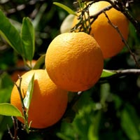wholesale orange essential oil