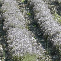 wholesale thyme essential oil