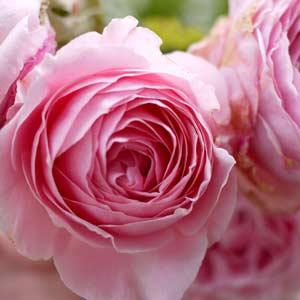 Damask Rose Restorative Beauty Serum
